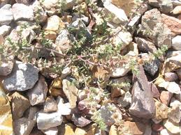 goat head weed killer. Fine Killer Natural Weed Killer For Puncture Vine Goat Heads In Goat Head Weed Killer H