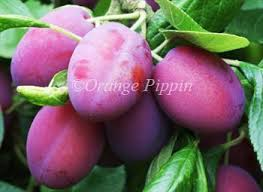 Amazoncom  6 In 1 FRUIT COCKTAIL TREE  6 Different FRUITS On Purple Plum Tree Fruit