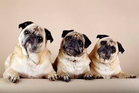 Pug Dog Vaccination Chart Pug Dog Breed Information Pictures Characteristics Facts
