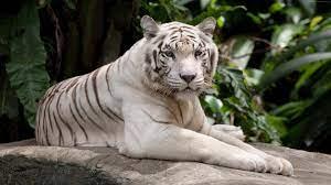 4k Wallpaper White Tiger
