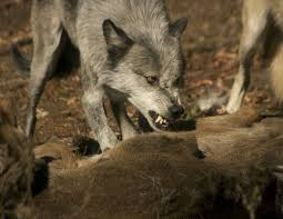 gray wolf pack in forest.  Forest Grey Wolf Looking Vicious As They Feed To Gray Pack In Forest A