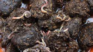 worms in the horse manure compost horse manure is a good source of nutrients and a popular addition to many home gardens stock footage storyblocks