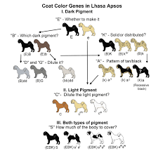 Dog Color Chart Coat Color Genetics In Lhasa Apsos Lhasa Lhasa Apso Genetics
