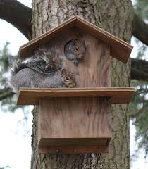 two squirrels enjoying their squirrel house one inside and one on the porch