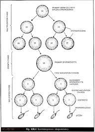 Useful Notes On Gametogenesis Spermatogenesis And Oogenesis