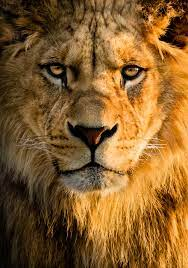 Free download Lion Wallpapers HD ...