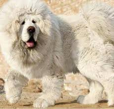 giant fluffy white dogs big fluffy white dogs n puppies n people