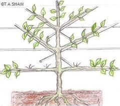 Growing Cordon Fruit Trees