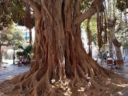 ficus - Picture of Plaza Canalla, Alicante - Tripadvisor