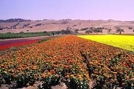 flower farms near gilroy o dreamland colour the world flower farm