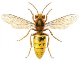 Bee And Wasp Identification Chart Uk Know Your Hornets The Wildlife Trusts