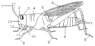 grasshopperexternal grasshopper dissection worksheet termolak on earthworm dissection lab worksheet answers