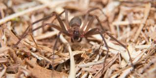 Are Brown Recluse Spiders Really Dangerous Plunketts Pest Control