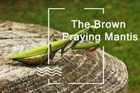 The Brown Praying Mantis Lifecycle Habitat Behavior And
