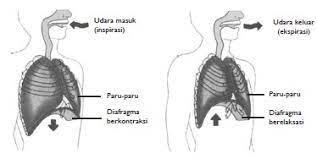 Perut, jelaskan proses pembentukan urine, jelaskan tentang penyakit pleuritis, kapasitas paru paru, kelainan pada sistem pernapasan, kelebihan pernafasan … Proses Pernapasan Dada Dan Perut Usaha321 Net