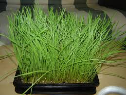 Wheatgrass Nutrition Chart Grow Your Own Wheatgrass 7 Steps With Pictures