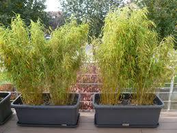 Mon Fargesia En Pot D P Rit Lesbambous Fr Forum Des Fous De Bambou Fargesia En Pot Pour Terrasse
