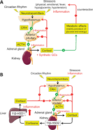 Function And Dysfunction Of The Hypothalamic Pituitary Adrenal Axis
