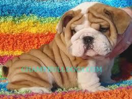 chbulldogs 74 best bulldogs images on bulldog puppies