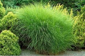 Tall Decorative Grass Ornamental Grasses Timberpine Unplugged