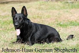 black german shepherd puppies for sale. Perfect Shepherd Throughout Black German Shepherd Puppies For Sale H