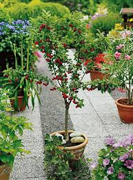 Grow Full Size Fruits In A Fraction Of The Area With Bonsai TreesCherry Fruit Tree Care