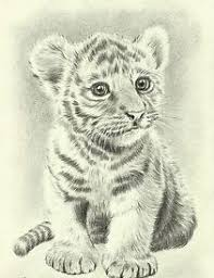 baby white tigers drawing. Contemporary White Tiger Drawings Tiger Sketch Baby Lion Drawing  Drawing Throughout White Tigers W