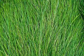 tall grass texture seamless. Grass Texture Tall Seamless 8