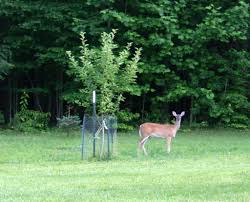 Late Evening Planting Apple Trees And Protecting From Deer  YouTubeKeep Deer Away From Fruit Trees
