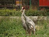 Image result for SIBERIAN CRANE TO LUCKNOW