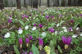 Картинки по запросу фото диких весенних цветов сибири