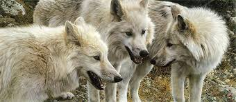 white wolf carl brenders a master of perfection in his wildlife paintings