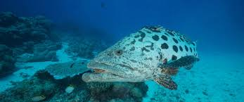 POTATO COD | THE GREAT 8 | SOUTHERN GREAT BARRIER REEF