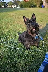 scottish terrier mix. Delighful Terrier Scottish Terrier Intended Mix