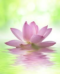 Výsledek obrázku pro lotosový květ