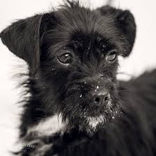 black terrier mix.  Terrier This Golden Girl Is A Twoyear Old Black Wire Haired Terrier Mix Ready To  Love Her New Forever Family Estelle Getty Was Found Tied Pole In West  On Black Terrier Mix