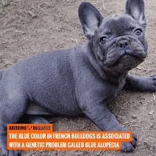 How To Breed French Bulldogs Heat Litter Size Health More