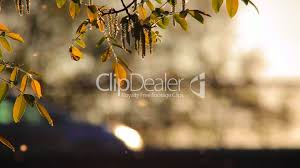 Pollen And Tree Leaves In The Wind At Dusk And Traffic In The