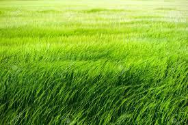 Grass Tall Green Grass Field Blowing In The Wind Stock Photo 13581631 123rfcom Green Grass Field Blowing In The Wind Stock Photo Picture And