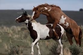 wild horses mustang fighting.  Fighting A Dominant Stud Showed Aggression With A Yearling Mustang That Was Coming  Of Age In Steens To Wild Horses Mustang Fighting