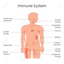 Education Chart Of Biology For Immune System Diagram In Human
