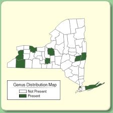 Nicotiana - Genus Page - NYFA: New York Flora Atlas - NYFA: New ...