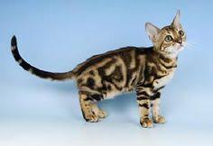 marble bengal cat. Simple Bengal The Bengal Cat Breed Marble Cat Cats Cute Kittens  Beautiful Cats To