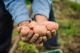 Potato Size Chart Insights Into Potato Sizes And The Beauty Of Small Potatoes