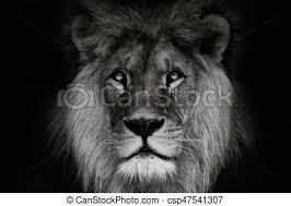 lion portrait black and white. Wonderful Black Portrait Lion With Black And White Colour Face Lion Look At The  Camera To Lion Black And White C