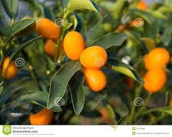 Arbutus Unedo Small Orange Fruit On Tree