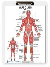 Impressive Anatomy Muscle Chart System Wearebrunch Com