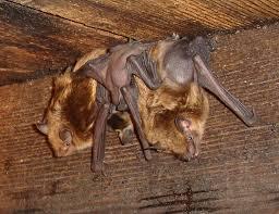 juvenile bat