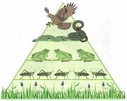 Цепи питания Экология Реферат доклад сообщение кратко  Рис 101 Пример экологической пирамиды