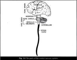 human brain essay the influences of nature and nurture on human development sample essay